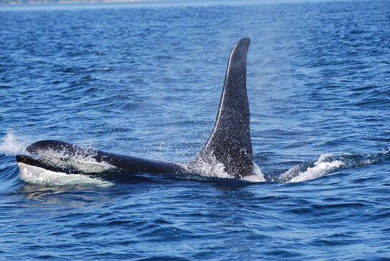 Port McNeill, Kanada: A male Northern Resident Killer Whale breaks the surface.