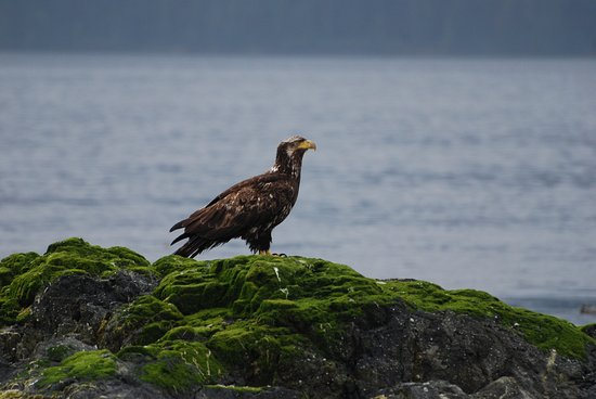 Port McNeill, Канада: A juvinile bald eagle perches on a rocky islet.