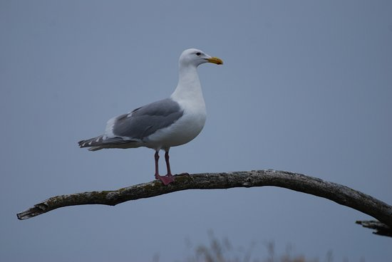 Port McNeill, Canada: One of many, many seagulls you'll have the opportunity to see