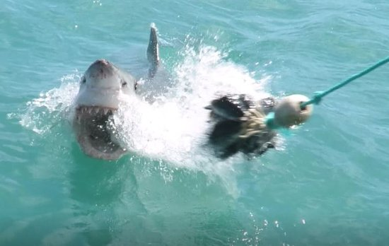 Kleinbaai, Güney Afrika: The sharks are incredibly fast