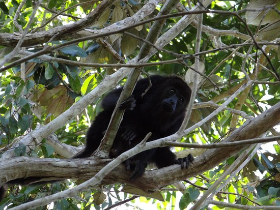 Distrito de Belice, Belice: howler monkey