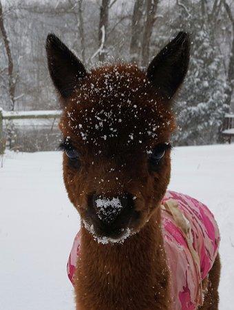 Ridgeway, VA: Camero the Cria (means baby alpaca)