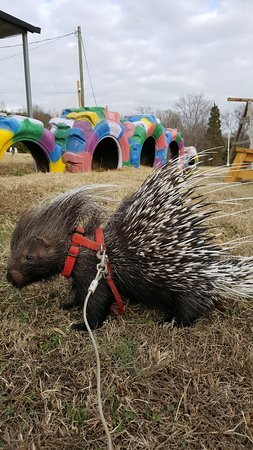 Ridgeway, VA: Spikenard the African Crested Porcupine! Wanna cuddle?