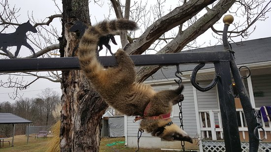 Ridgeway, VA: Cricket the Coatimundi can hang upside down! Silly Girl