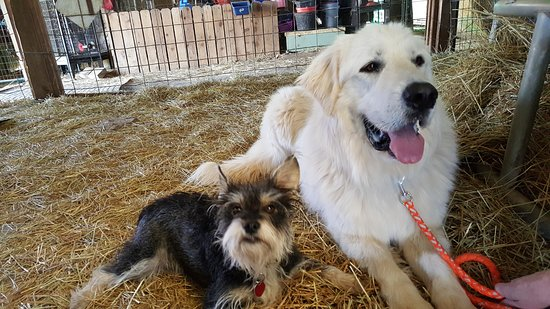 Ridgeway, Wirginia: Zuit the Guardian Great Pyr & Leuca the schnauzer chill together
