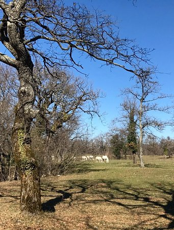 Lipica, Słowenia: Majestic trees and Lipizzaner horses