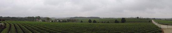 Nanchang, China: 鳳凰溝一片茶樹