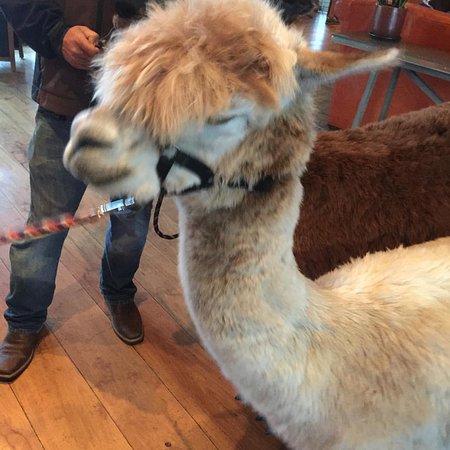 """""""Meet the Alpacas"""" in the lobby!"""