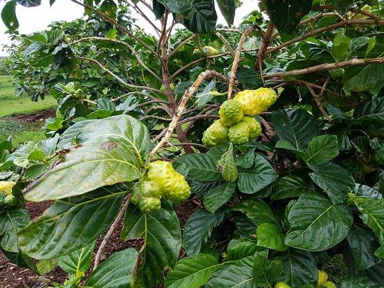 Kilauea, Hawái: Noni fruit on the tree