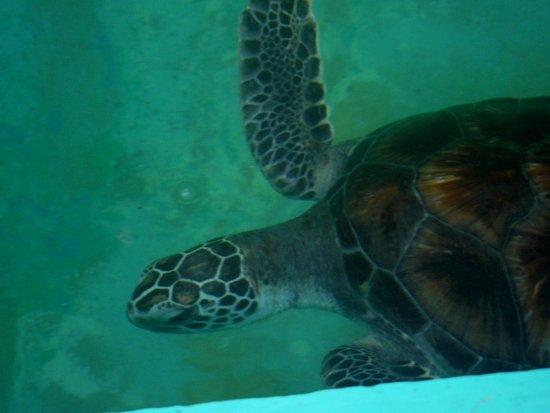 Centro Mexicano de la Tortuga: Carey turtle