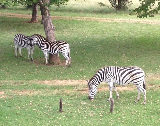 Himeville, Güney Afrika: Zebra are not too concerned about your presence