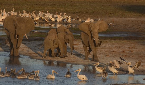 Dorobo Safaris: Elephant clearing the waterhole of pelicans in Tarangire National Park