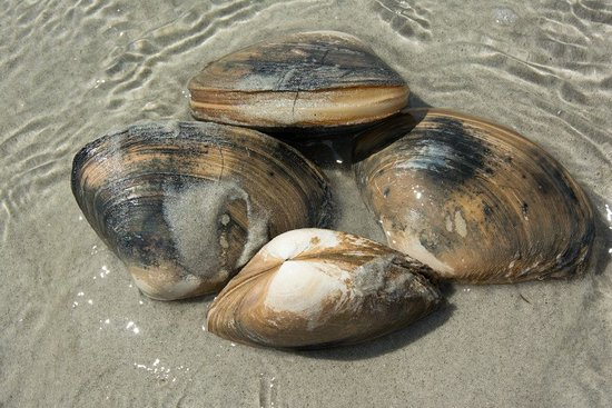 Essex, MA: Giant Hen Clams on sandbars