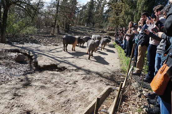 Bagnaia, Włochy: studnets enjoyng and learning about the pigs