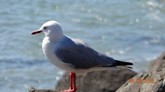 Broken Head, Australia: Local Gull