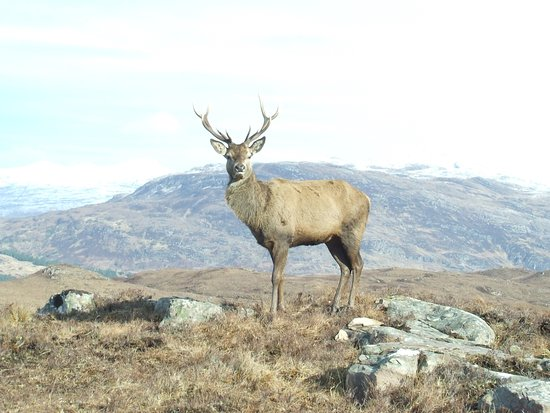 Lochcarron, UK: Hansom beast posing for a photo