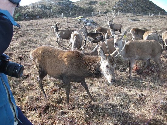 Lochcarron, UK: Feeding the deer