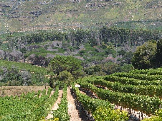 Constantia, Güney Afrika: Vineyard
