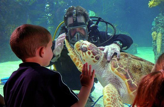 Newport Aquarium: Denver, the loggerhead sea turtle visits with a diver and aquarium guest.