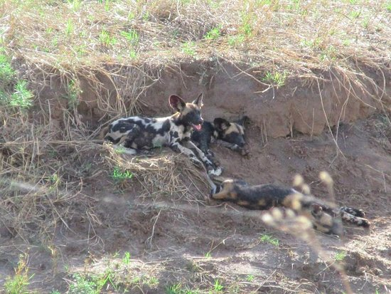 The African Painted Dogs! Rare and lucky that we were able