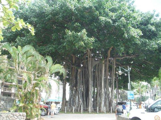 Waikiki Beach Walk The Giant Banyan Tree In Evening It Is Full Of