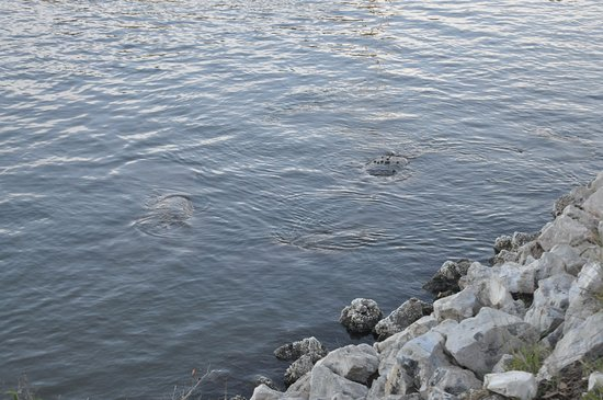 Canaveral National Seashore: Manatee Surfacing