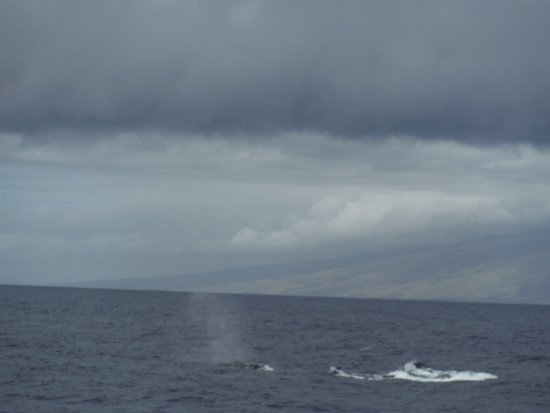 Hawaii Ocean Project: Two whales fight it out for a female.