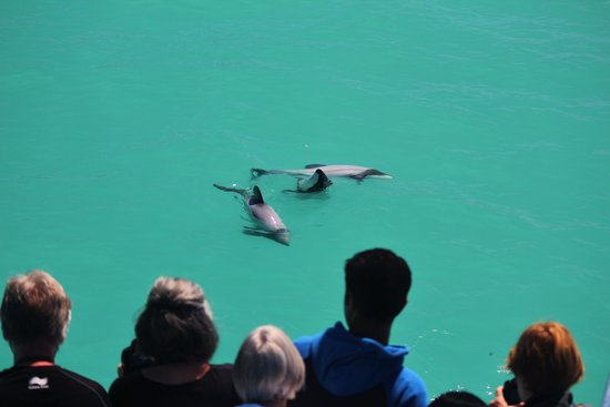 Hector's Dolphins on a whale watch tour