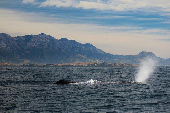 Kaikoura, Nueva Zelanda: There he blows