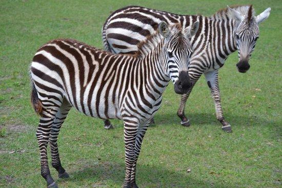 Safari Wilderness: Pair of zebras