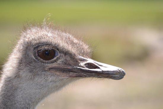 Safari Wilderness: Oestrich