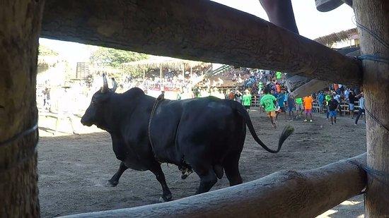 Golf von Papagayo, Costa Rica: Bull1