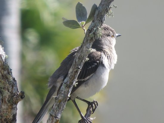 Bowditch Point Park : Cute Mockingbird