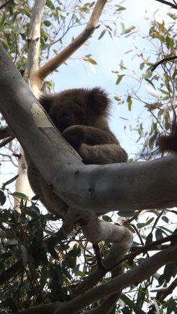 Kingscote, Australia: Cuddly Bear