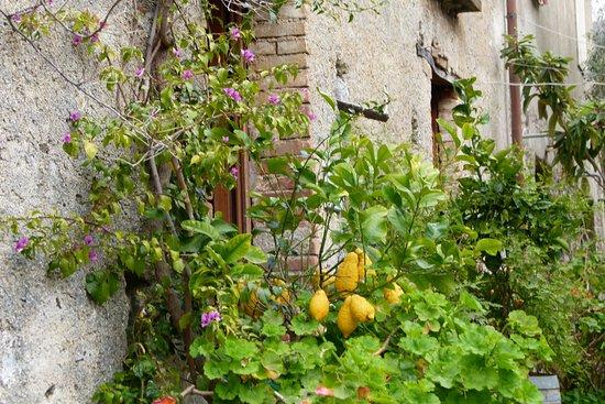 Condofuri, Italia: pianta di cedro