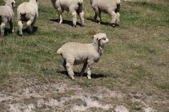 Fairlie, New Zealand: Very healthy lamb