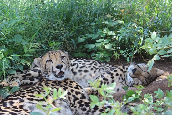 Camp Jabulani: King Cheetah at the Hoedspruit Endangered Species Research Center. Such beauty