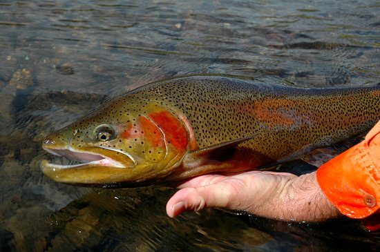 Creede, CO: A beautiful trout from Goose Creek
