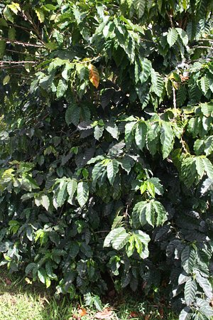 Mountain View, Hawaje: One of Hilo Coffee Mills coffee trees