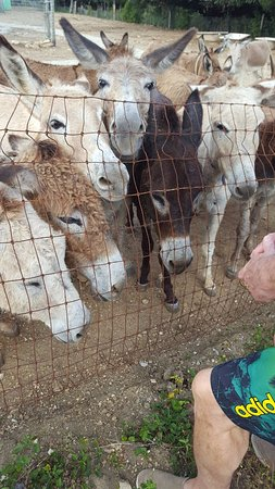 Saint Paul Parish, Antigua: Antigua Donkey Sanctuary jostling for some lovin'