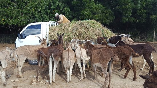 Saint Paul Parish, Antigua: Feeding time, no time for humans! Other than the hay truck driver!