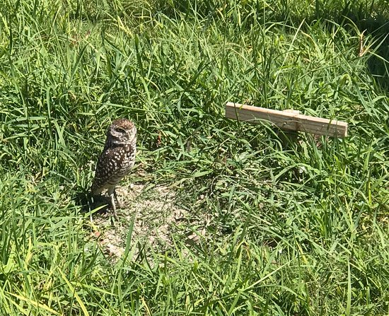 South Seas Towers Condominiums: View of the towers from the gulf. Burrowing owl by the guard gate.