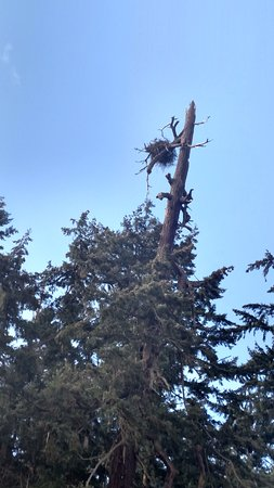 Camano Island, WA: Massive bald eagle nest. One of many