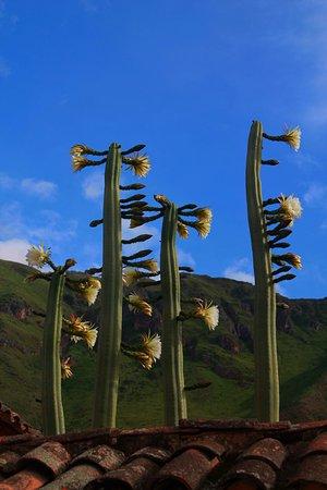 SAUCE Hostal: San Pedro, mystical Inka's sacred cactus