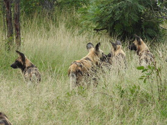 Timbavati Private Nature Reserve, South Africa: Wild dogs