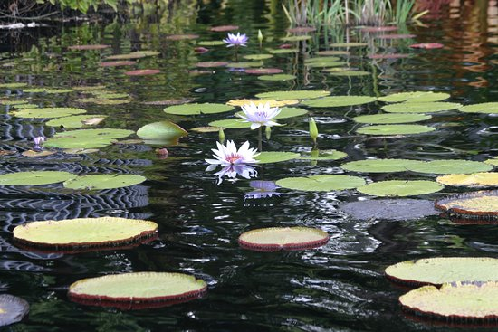 One Of Three Lily Ponds Picture Of Naples Botanical Garden