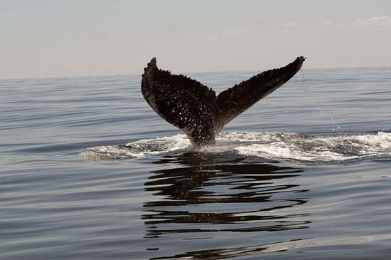 Milbridge, ME: Humpback tail
