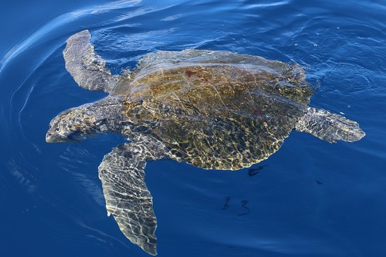 Drake Bay, Costa Rica: turtle