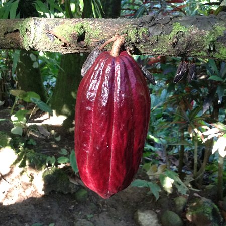 Cocoa Cottages: Cocoa pod