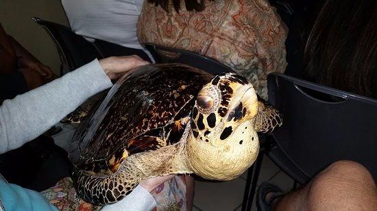 Marathon Shores, FL: it is not a live turtle